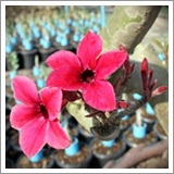 Adenium Chuanchom flower desert rose Red Dragon