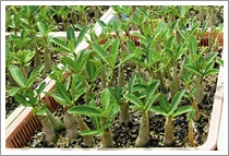 Adenium Somalense Seedlings
