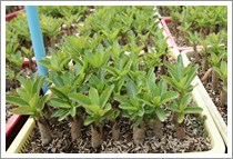 Adenium Thai Socotranum Seedlings