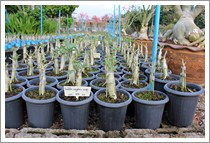 Tall shape Thai Socotranum Siam Crown