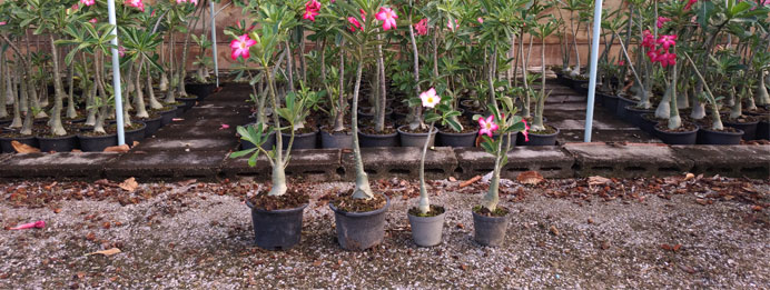 Go to adenium color breed catalog.
